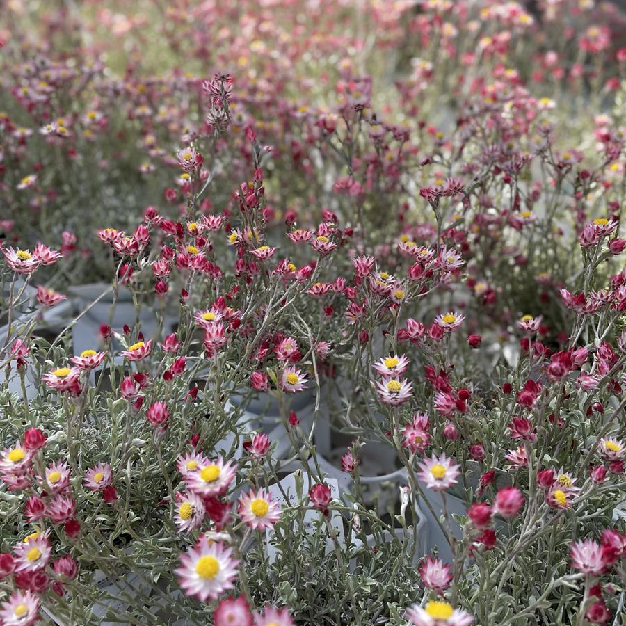 きれいな花たちシンカリファハートクイーン